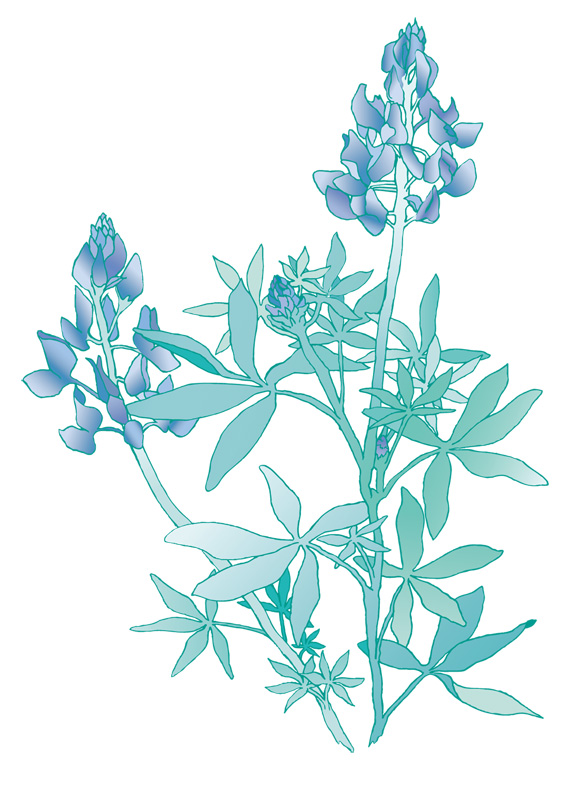 Bluebonnet Drawing Pictures to Pin on Pinterest PinsDaddy