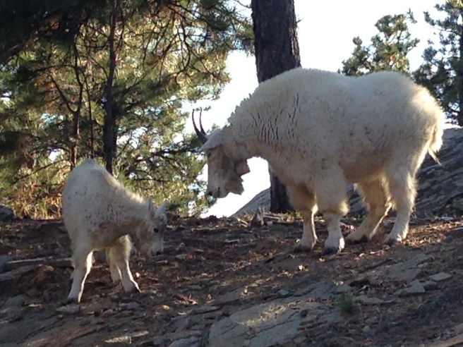 Darn! They snuck in. Moutain goats near Mount Rushmore.