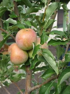Fuji-apple-tree