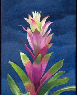 Pink and green Bromeliad under spotlight