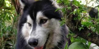 สายพันธุ์สุนัขภาษาจีน 狗的种类 PART.3