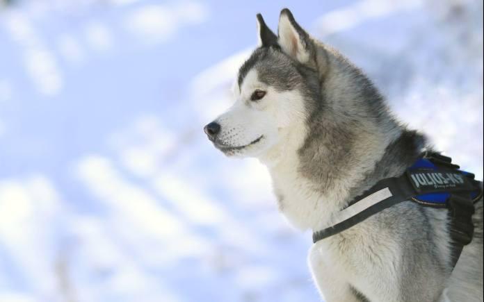 哈士奇 [ Hàshiqí ฮาซื่อฉี ] ไซบีเรียน ฮัสกี้ Siberian husky