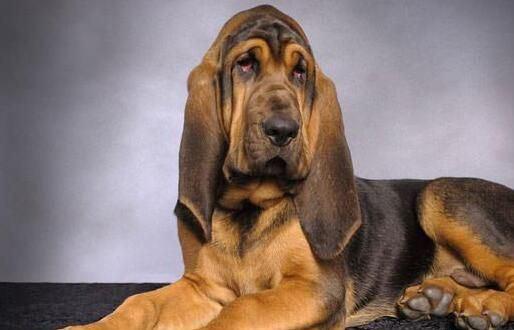 寻血猎犬 [ Xún xuè lièquǎn ฉุนเฉี่ยเลี่ยเฉวี่ยน ] บลัดฮาวด์ Bloodhound