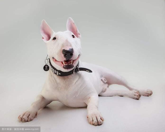 斗牛梗 [ Dòuniú gěng โต้วหนิวเกิ่ง ] บูลล์เทอร์เรีย Bull Terrier