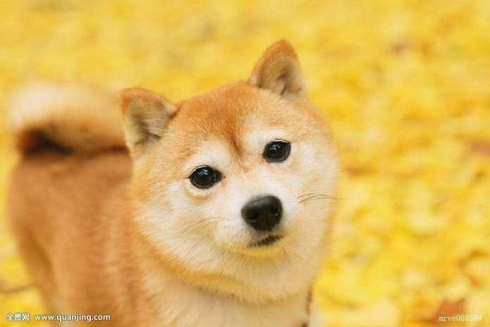 柴犬 [ Cháiquǎn ฉายเฉวี่ยน ] ชิบะ Shiba