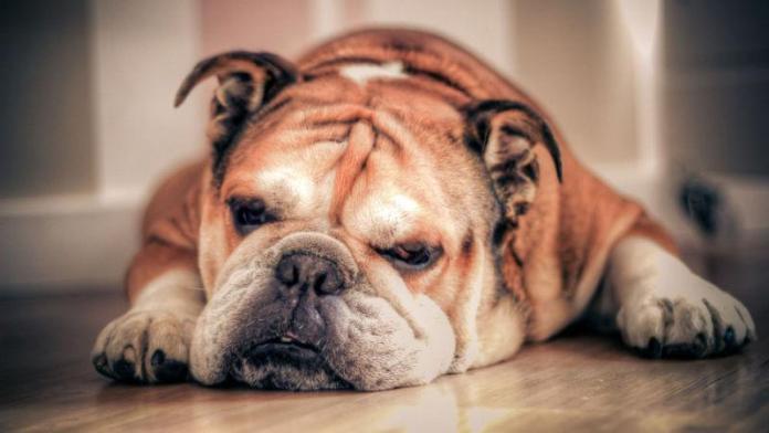 英国斗牛犬 [ Yīngguó dòuniú quǎn อินกว๋อโต้วหนิวเฉวี่ยน ] Bulldog