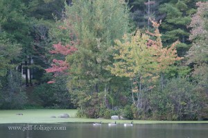 Kingston NH fall color with geese swimming in a row.