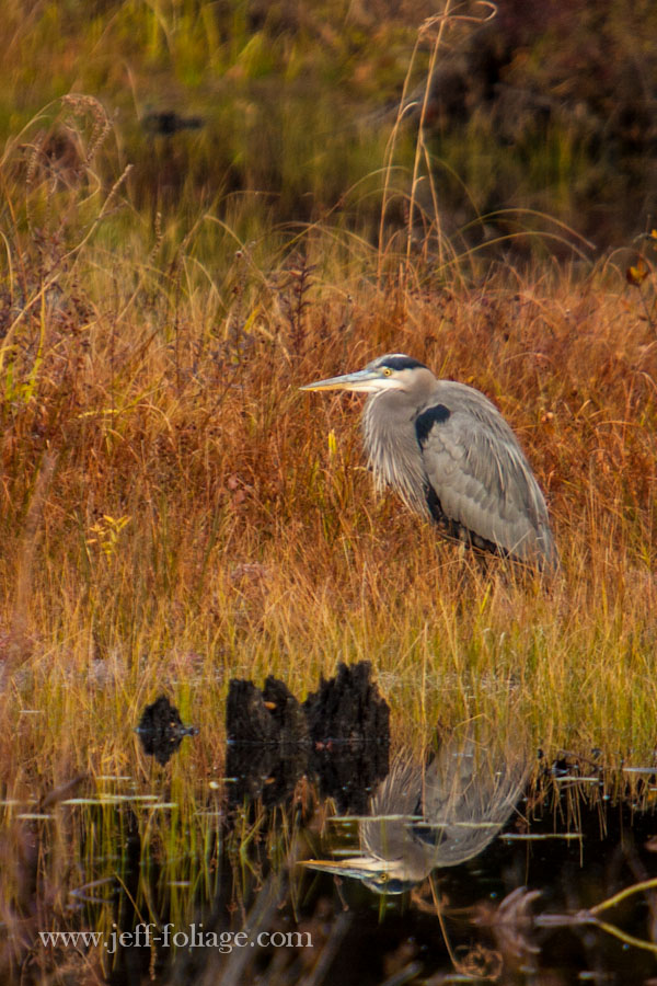 great blue heron sits motionless waiting for a small fish to make a morning meal of