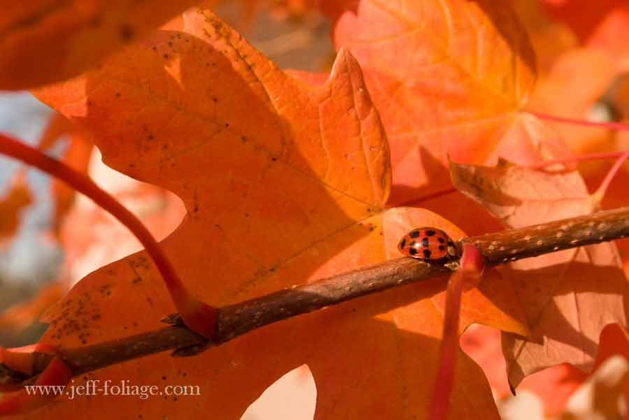 orange is the color of the day with fall foliage Maple leaf in a beautiful orange color with a ladybug of orange and black
