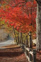 a loan Maple tree stands above a wooden fence with bright red fall foliage
