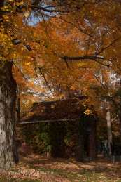 yellow fall foliage over a toolshed in Ipswich Massachusetts
