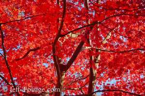 Bright red Japanese maple under a bright blue sky