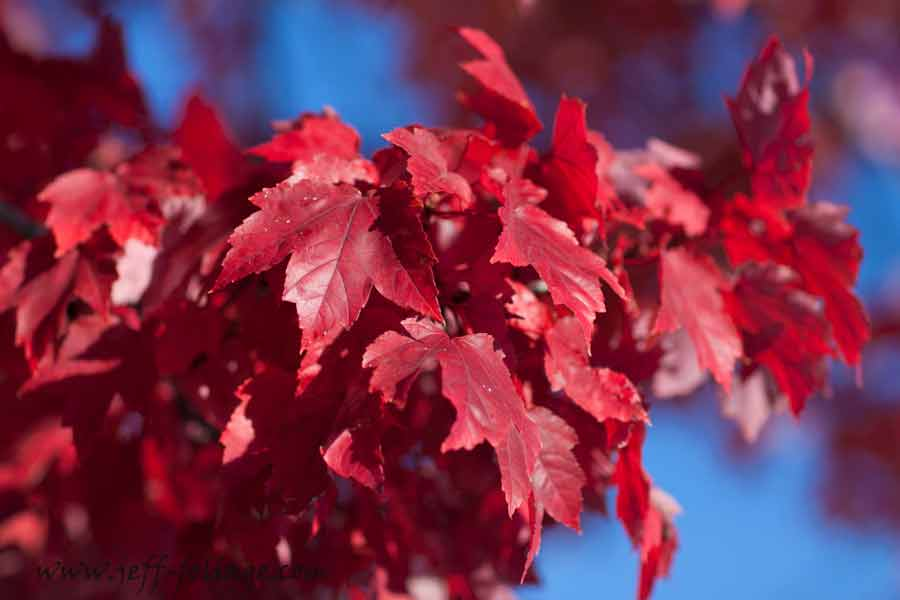 Red maple or a striped maple turns a fiery red in the afternoon sun