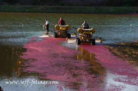 cranberry bogs in Carver Massachusetts