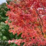 #Vistaphotography #JeffFolger, #JeffFoliage, Along Route 2A in Bedford Mass on 29 Sept 2012. One tree is bright red and the ones next to it are bright green...