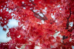 The striped maple or red maple turns a fiery red color where the whole tree is red from top to bottom.