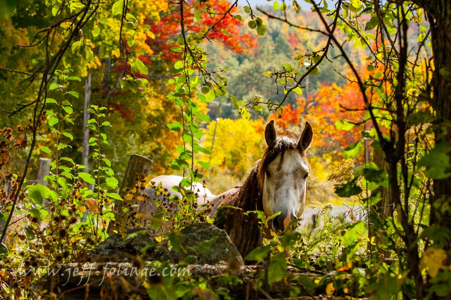 New England photography of a horse in new england fall foliage