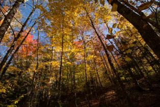 Fall colors over head of the Wild River road. The tall trees lean into infinity