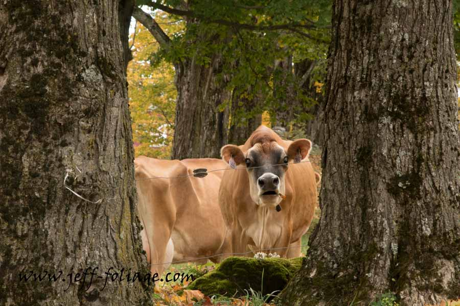 New England cows in autumn