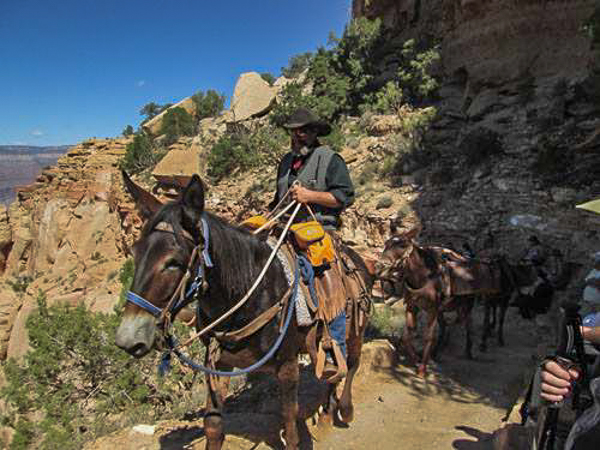 Mules on the way up from Phantom Ranch. Photo by Linda-Ann Stewart.