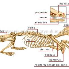 Whale Digestive System Diagram 1999 Mustang Wiring Bat Bone Template ~ Elsavadorla