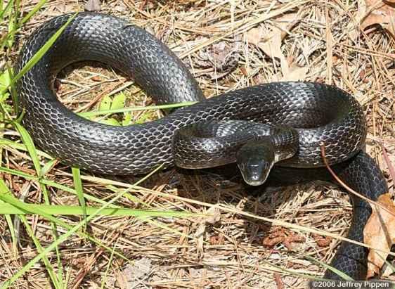 Rat Snakes (Elaphe obsoleta)