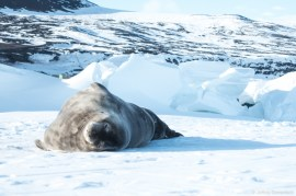 Seals on the Ross Sea ice