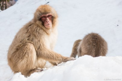 Macaque Snow Monkeys relaxing in the snow.