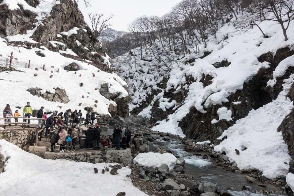 Snow Monkey Onsen is a popular tourist attraction, with hoardes of touritst taking photos. Despite this, the monkeys seems at ease, and walk amongst the people freely.