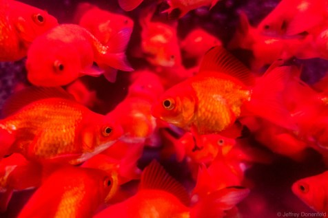 Hong Kong has its own dedicated goldfish market, where almost any size of goldfish, or other aquarium fish, are available.