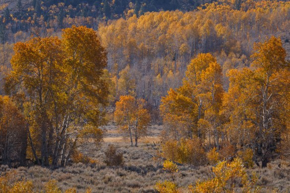Yellow aspen in the Eastern Sierra