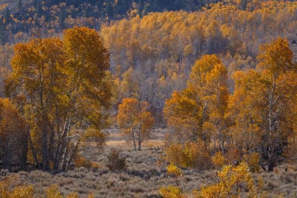 Yellow aspen in the Eastern Sierra