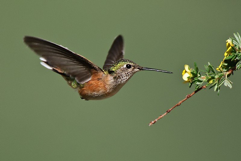 Hummingbird coming to my newly created perch photographed by Jeff Wendorff