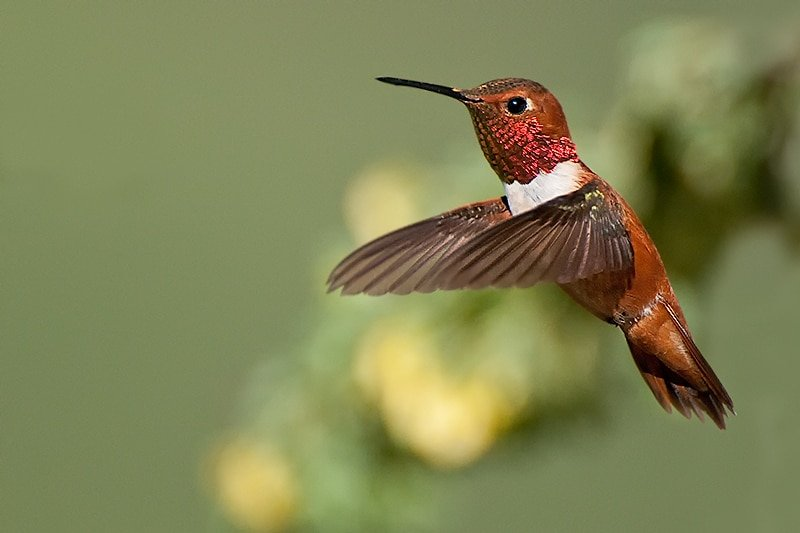 Rufous Hummingbird, Selasphorus rufus. male hovering near cinque foil - Jeff Wendorff Photographer