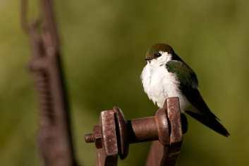 Violet-green Swallow, Tachycineta thalassina