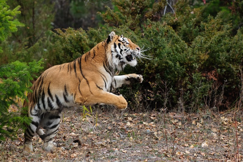 Leaping tiger photographed by Jeff Wendorff