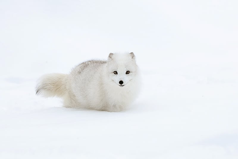 White on White - Arctic Fox in the snow photographed by Jeff Wendorff