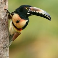 More Toucan Photography from Costa Rica