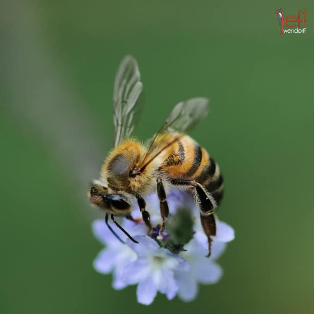 Honey Bee pollenating Verbena Azul, Stachytarpheta cayennensis by photographer Jeff Wendorff