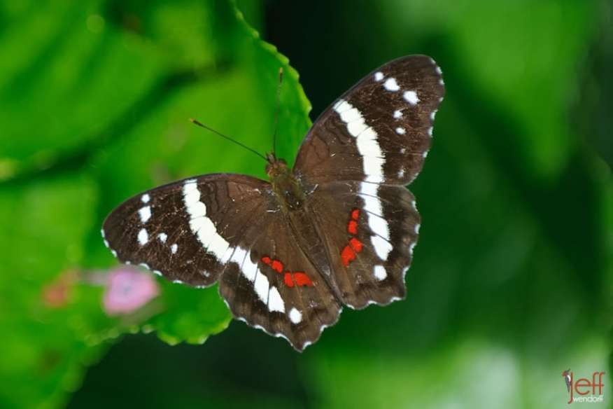 Banded Peacock, Anartia fatima by photographer Jeff Wendorff
