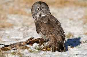 Great Gray Owl, Strix nebulosa. Also called the Great Gray Ghost, Phantom of the north, Cinereous Owl, Spectral Owl, Lapland Owl, Spruce Owl, Bearded Owl and Sooty Owl.