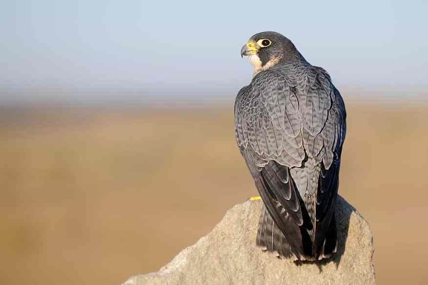 Peregrine Falcon, Falco peregrinus perched on a rock photographed by Jeff Wendorff