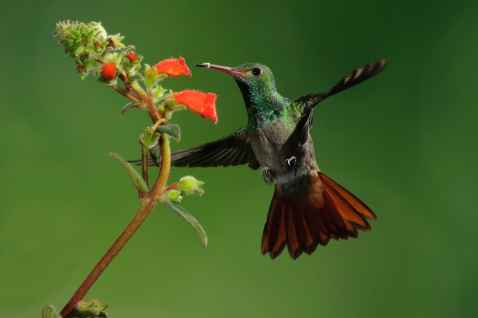 Rufous-tailed Hummingbird, Amazilia tzacatl