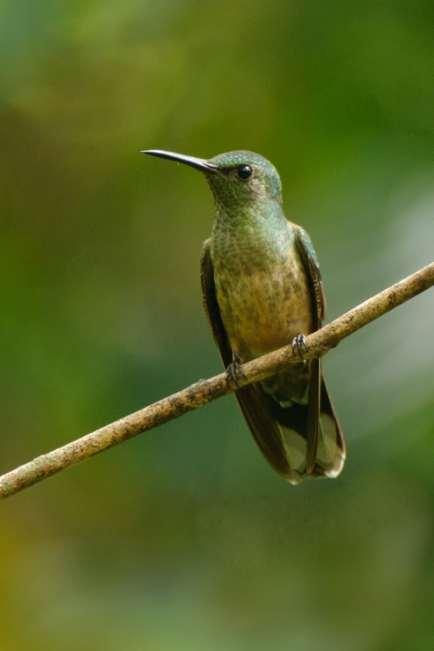 Scaly-breasted Hummingbird, Phaeochroa cuvierii