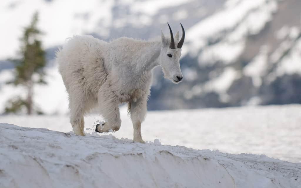 Mountain Goats – Glacier National Park