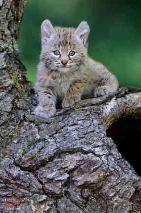 Bobcat, Lynx rufus