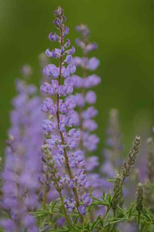 Silky Lupine, Lupinus sericeus Pursh