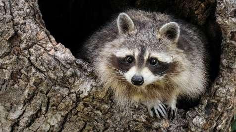 American Raccoon, Procyon lotor