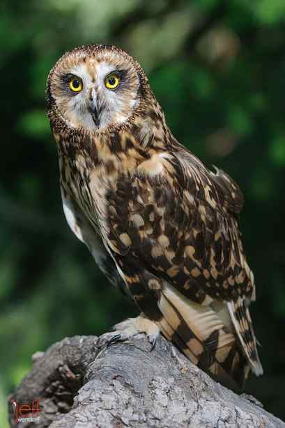 Short-eared Owl, Asio flammeus. Also know as Evening Owl, Marsh Owl, Bog Owl, Mouse Hawk, Flat-faced Owl