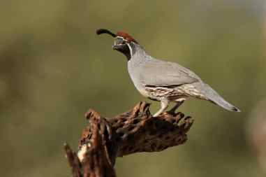 New Bird Species for Me - Gambel's Quail